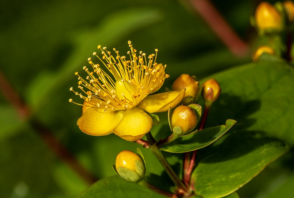 Blossom Hypericum Perforatum St John's Wort Bloom