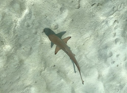 BioEcoGeo_Westin Maldives Miriandhoo_shark