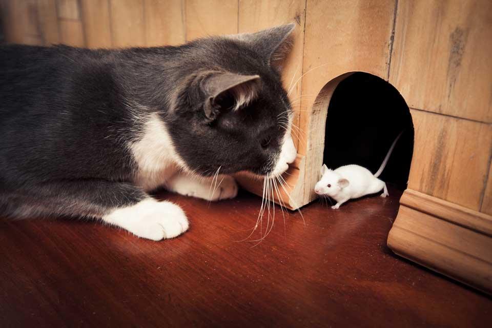 Lo strumento più opportuno per combattere la diffusione di malattie per mezzo dei roditori (no, non è la presenza di un gatto!) è la derattizzazione