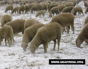 pecore-neve