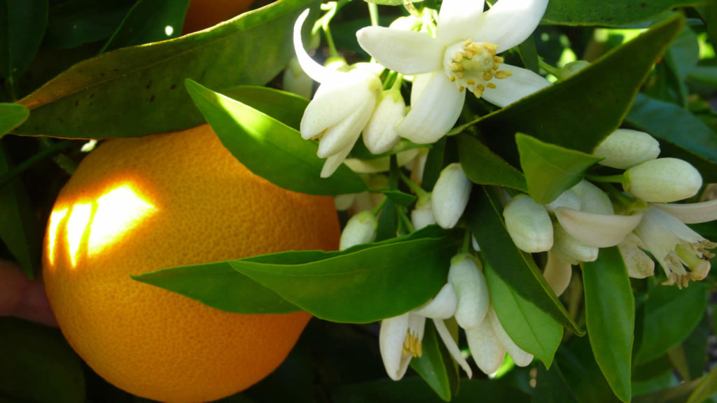 neroli-essential-oil