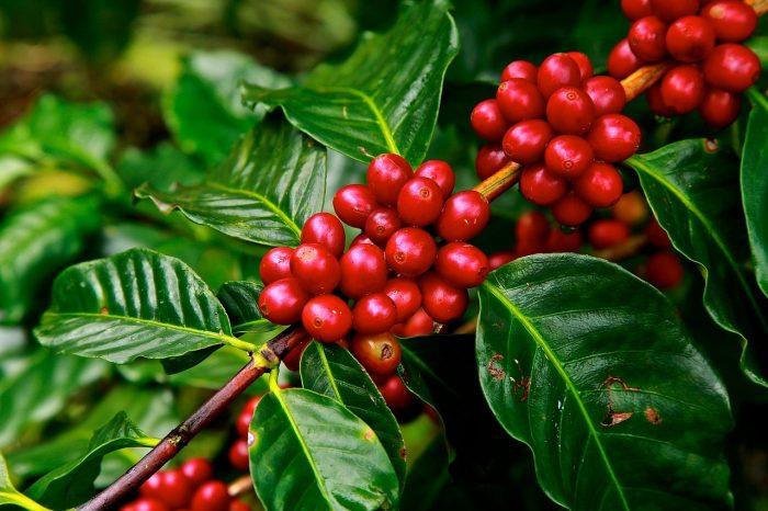 BioEcoGeo_natale-pianta-caffè