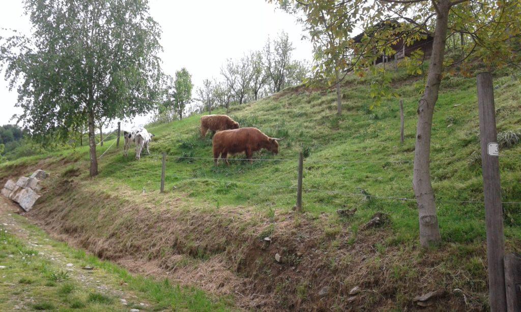 BioEcoGeo_vacche-pascolo